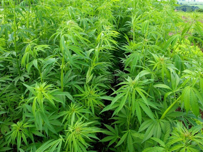 Plantas novas do cannabis fotos de stock royalty free