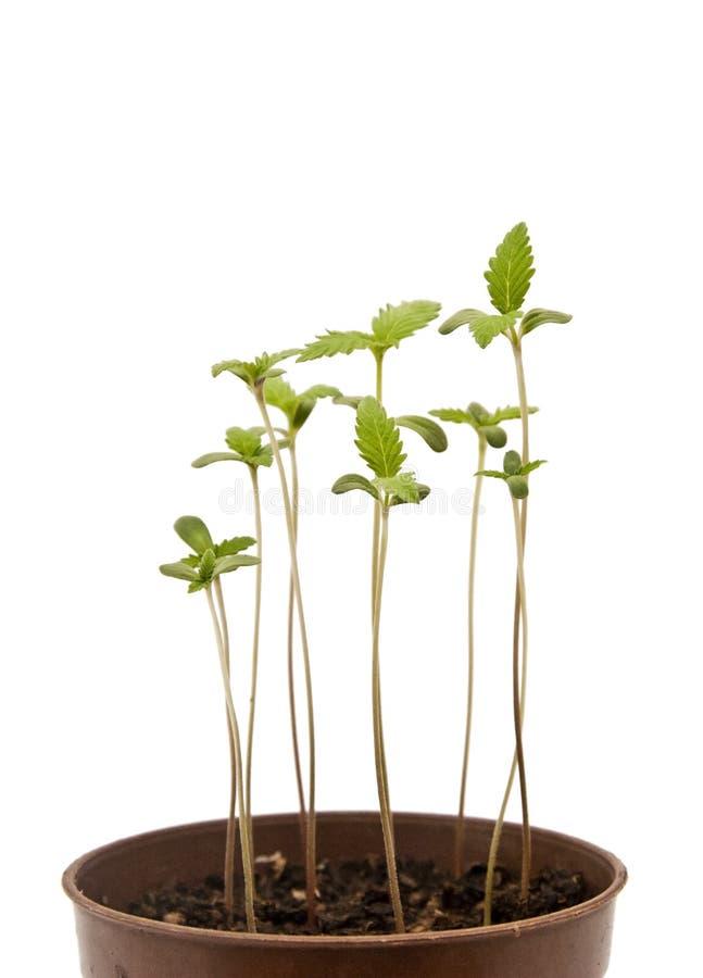 Plantas novas do cannabis foto de stock royalty free