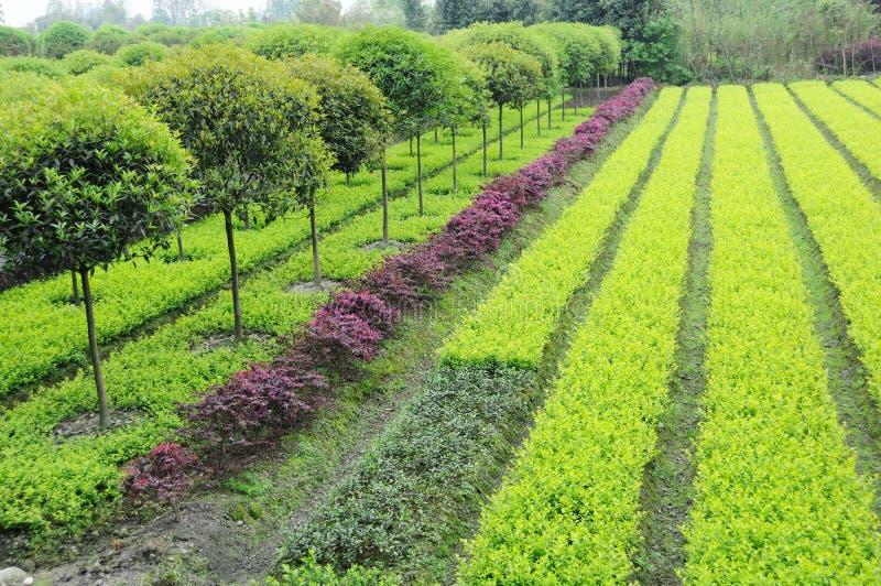 Plantas novas e árvores do Osmanthus fotos de stock royalty free