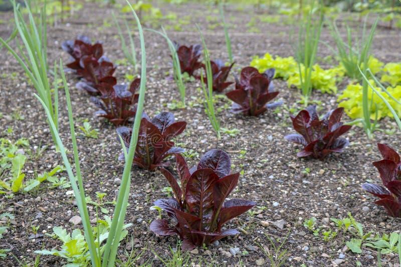 Plantas novas no jardim: cebolas verdes, alface imagens de stock