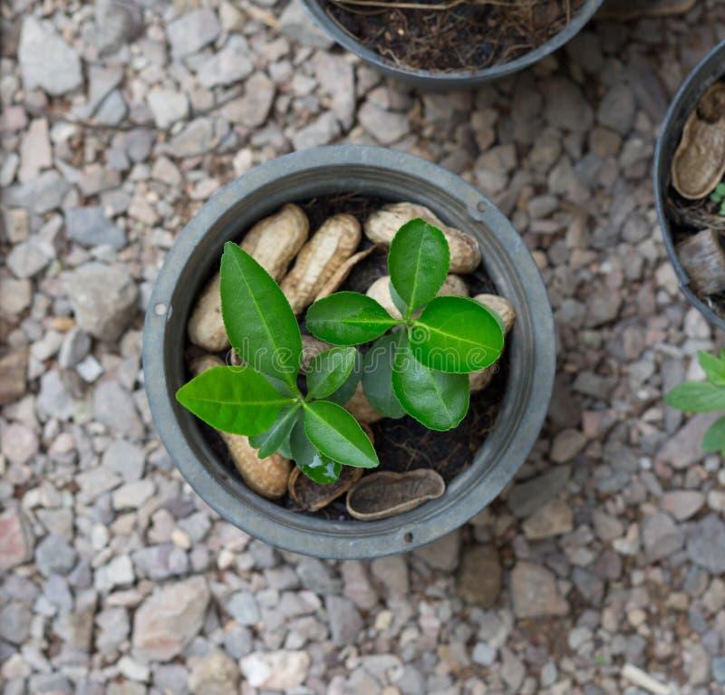 Plantas novas no potenciômetro da planta da vista superior fotografia de stock