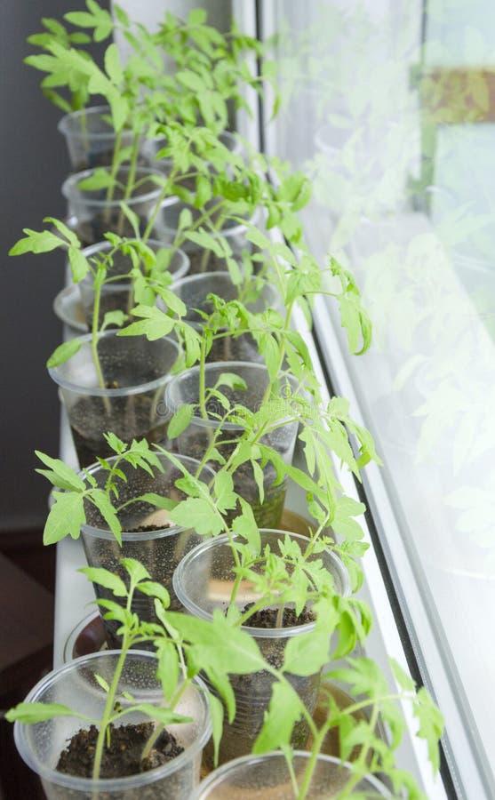 Plantas novas, plântulas dos tomates em uns copos do cultivo fotografia de stock