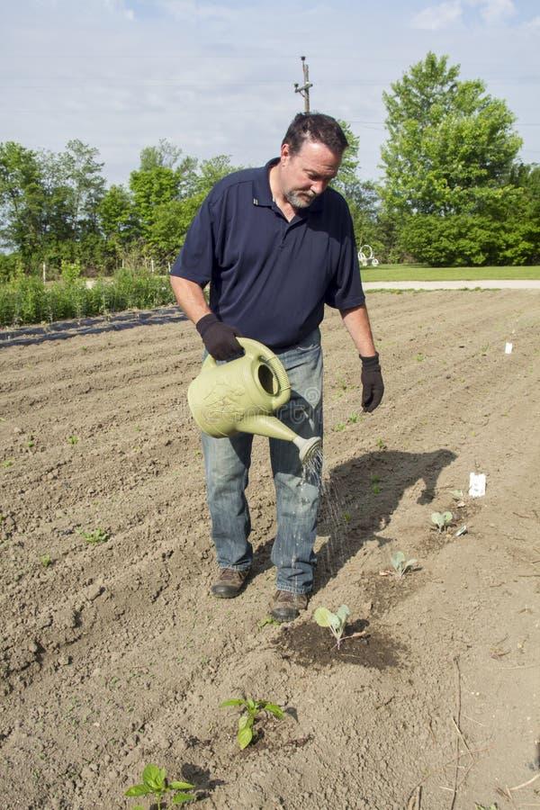 Plantas orgánicas de Watering Some Cabbage del granjero foto de archivo libre de regalías