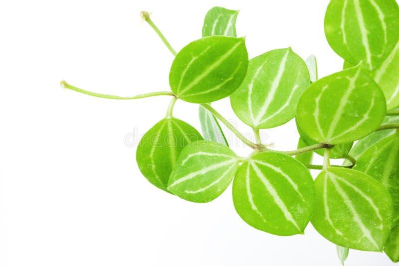 Plantas ornamentales del escalador en el fondo blanco for 6 plantas ornamentales