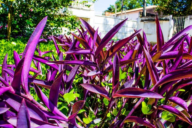 Plantas púrpuras imagen de archivo libre de regalías