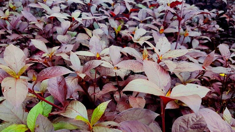 Plantas púrpuras fotografía de archivo libre de regalías