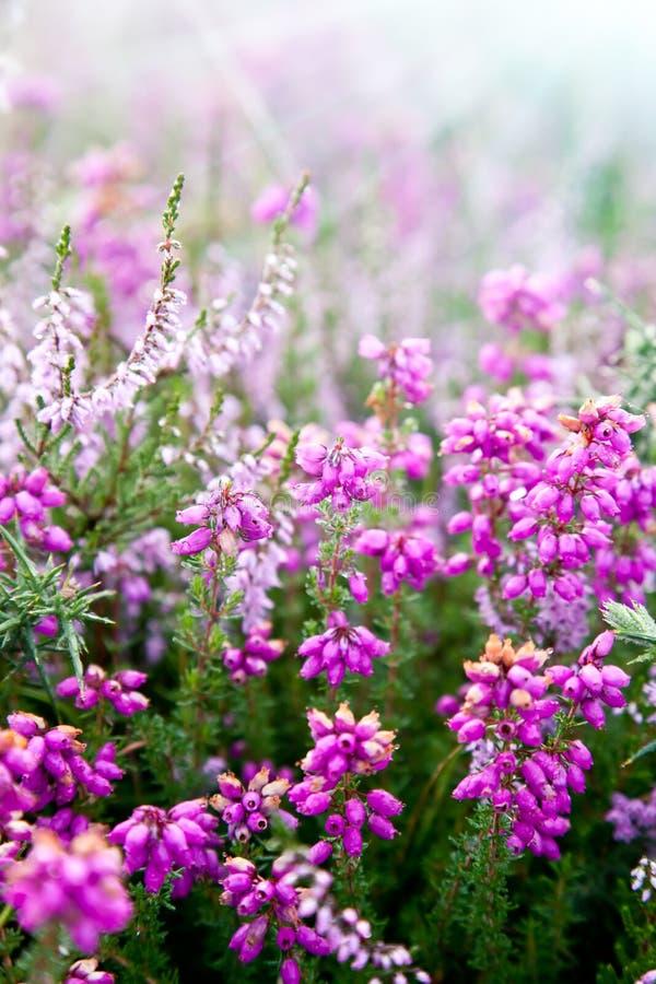 Plantas púrpuras del brezo de Erica de la alarma foto de archivo libre de regalías