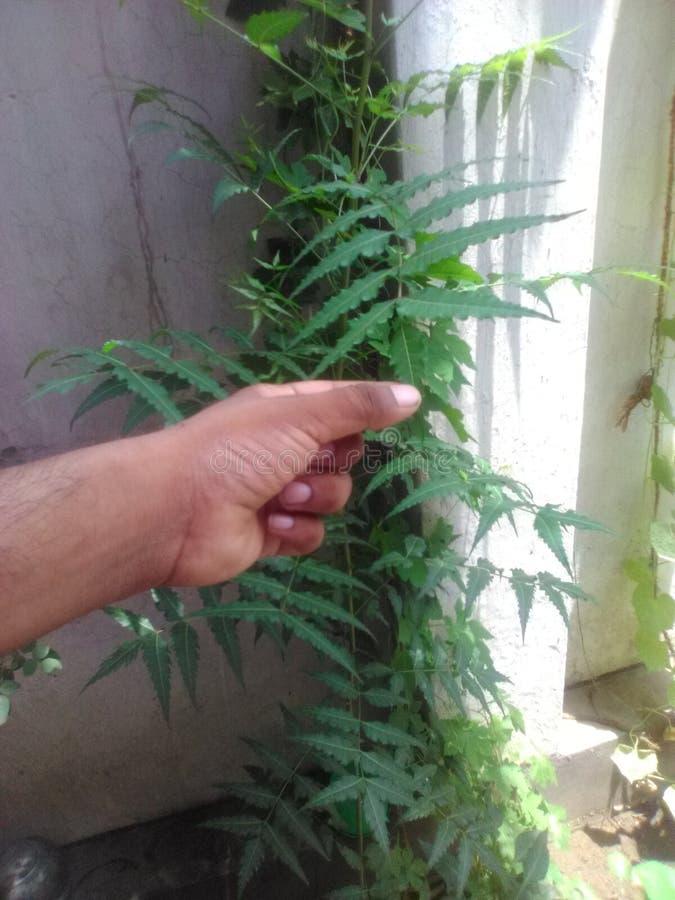 Plantas pequenas de Neem fotografia de stock