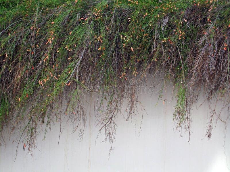 Plantas que conectan en cascada sobre la pared blanca del estuco imagenes de archivo