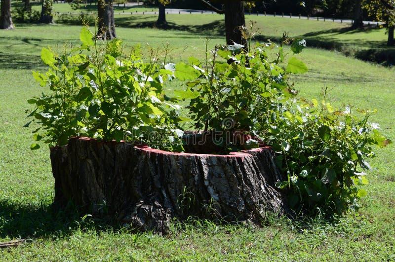 Plantas que crecen de tocón de árbol foto de archivo libre de regalías