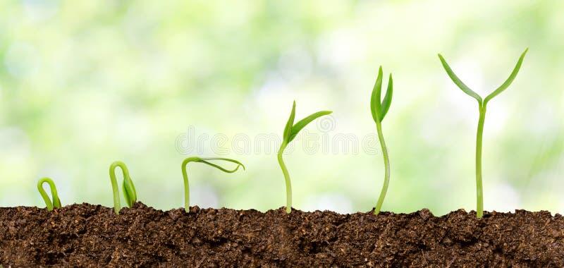 Plantas que crescem do solo - progresso da planta fotografia de stock royalty free