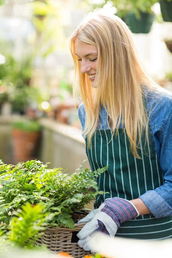 Plantas que llevan del jardinero de sexo femenino en cesta de mimbre foto de archivo libre de regalías