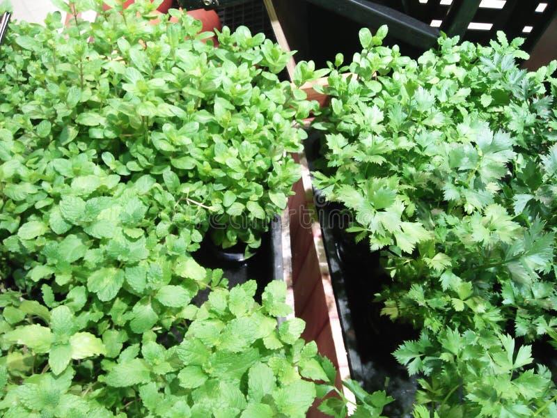 Plantas que producen las hojas para cocinar necesidades de la sopa foto de archivo