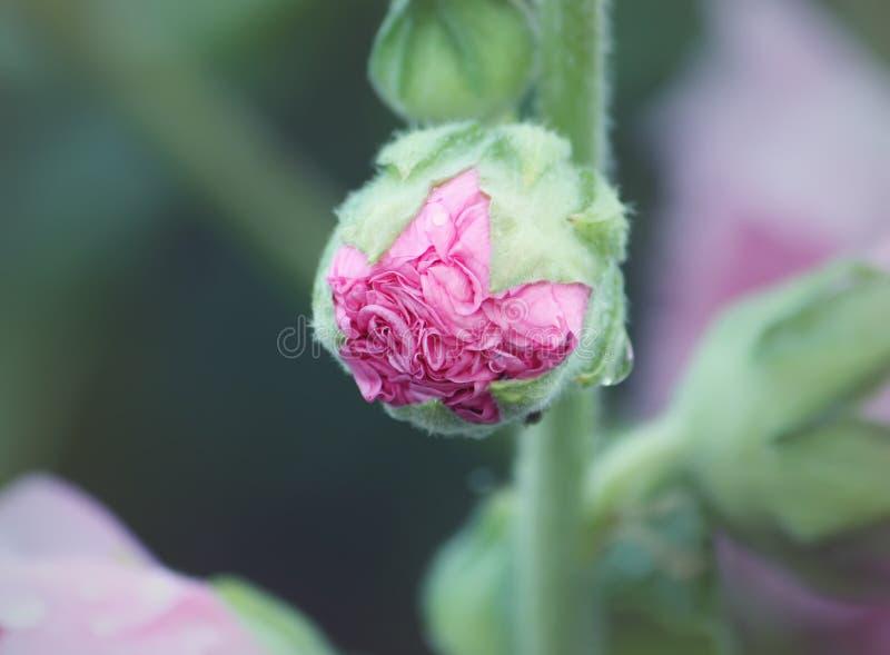 Plantas rosadas de la malva fotos de archivo libres de regalías