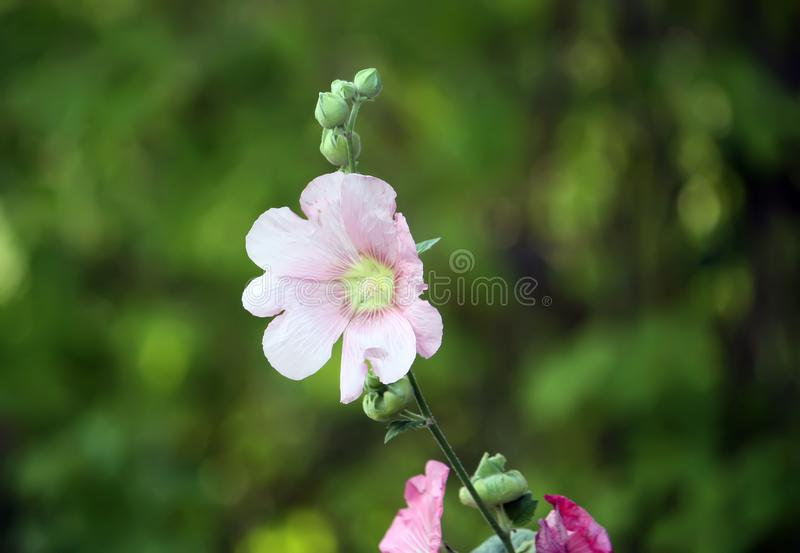 Plantas rosadas de la malva imagenes de archivo