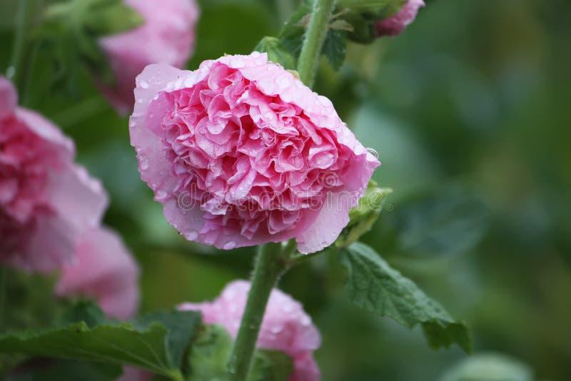 Plantas rosadas de la malva foto de archivo