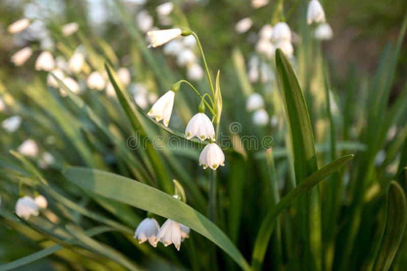Plantas selvagens de floresc?ncia do aestivum ou do floco de neve de Leucojum fotos de stock