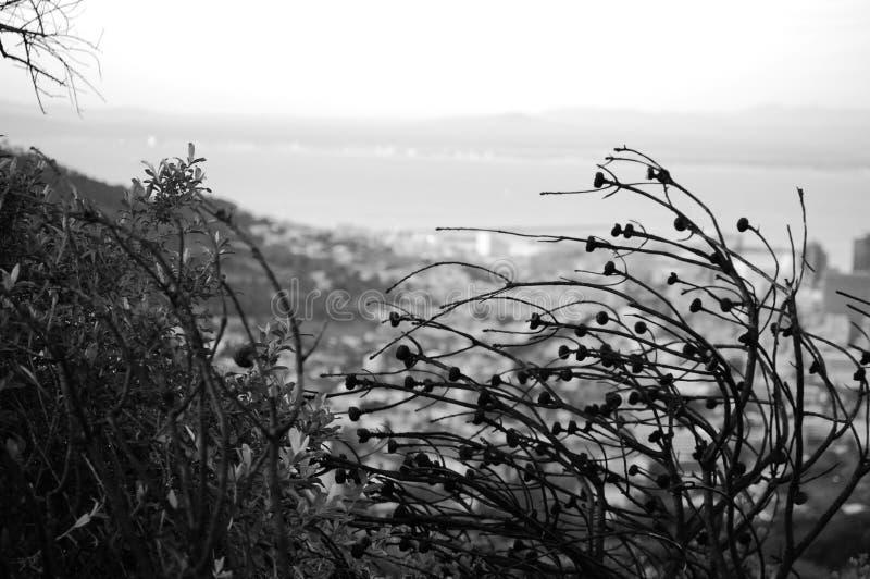 Plantas selvagens secas no parque da montanha da tabela, foto preto e branco foto de stock royalty free