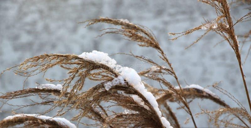 Plantas silvestres cubiertas con la nieve congelada, invierno frío foto de archivo libre de regalías