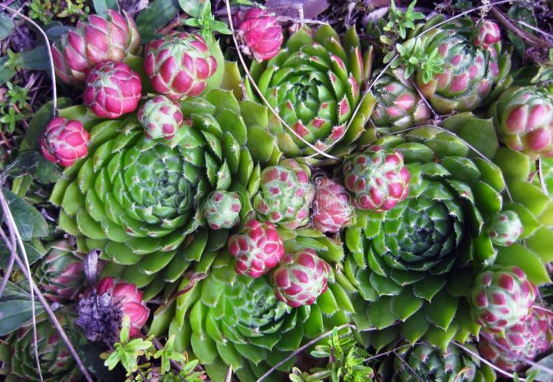 Plantas suculentas con acentos púrpuras fotos de archivo libres de regalías