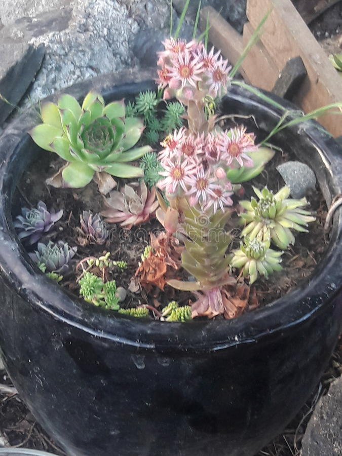 Plantas suculentas en pote de cerámica imagen de archivo libre de regalías