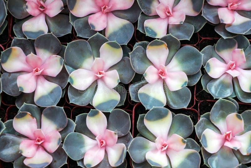 Plantas suculentas en pote en fila fotografía de archivo libre de regalías