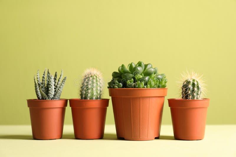 Plantas suculentas hermosas en potes en la tabla contra el fondo verde amarillo, espacio para el texto imagenes de archivo