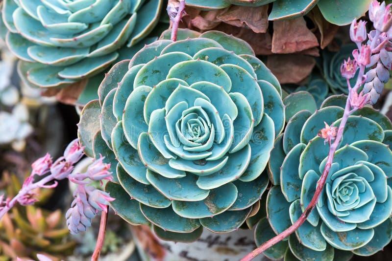Plantas suculentas miniatura imagen de archivo