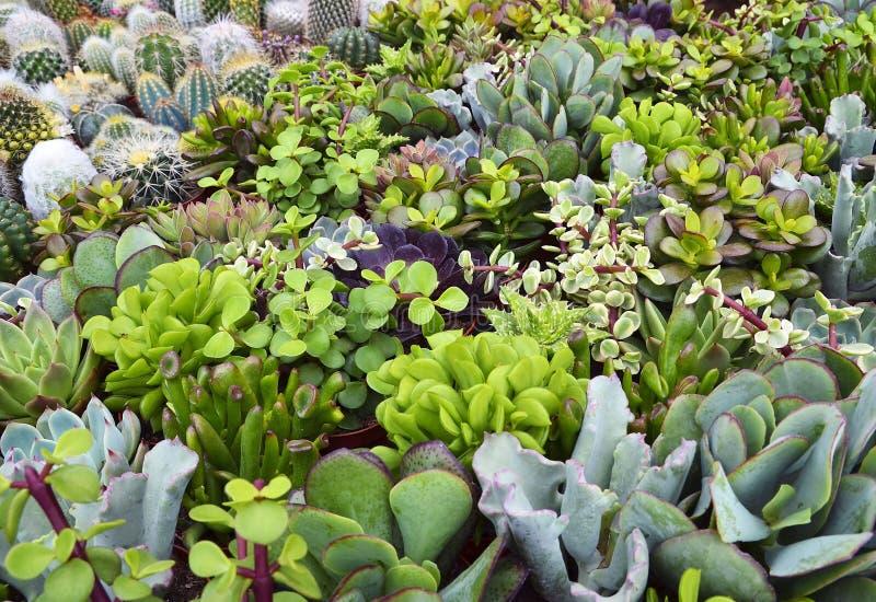 Plantas suculentas y del cactus en jardín botánico del desierto Succulents y cactus exóticos decorativos clasificados como fondo  fotos de archivo