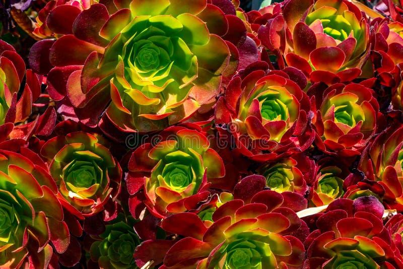 Plantas suculentos coloridas fotos de stock royalty free