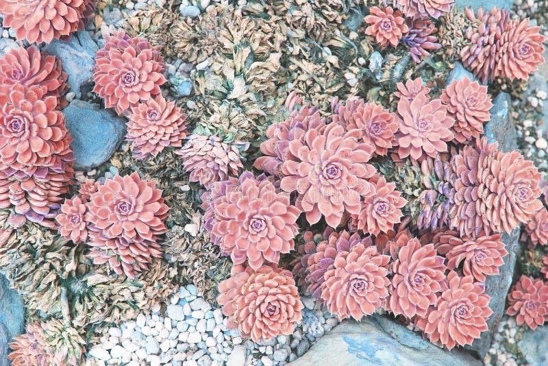Plantas suculentos no canteiro de flores tonificado no coral de vida imagem de stock