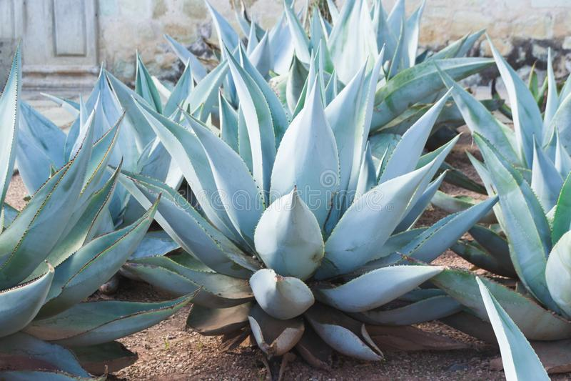 Plantas tradicionais do mexicano do nativr do maguey verde imagens de stock