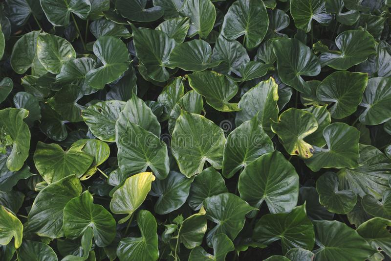 Plantas tropicais verdes das folhas, fim acima de vários tamanhos da licença, fundo natural fotografia de stock royalty free