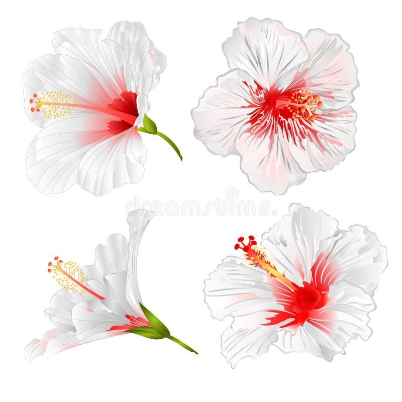 Plantas tropicales de las flores blancas del hibisco en un ejemplo blanco del vector del vintage del sistema del fondo editable stock de ilustración