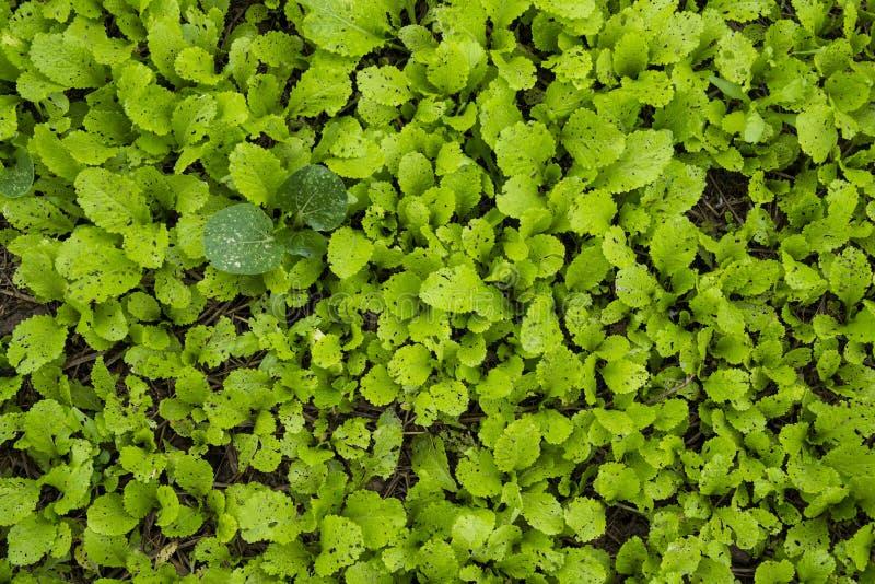 Plantas vegeetable frescas em Hanoi Vietname foto de stock royalty free
