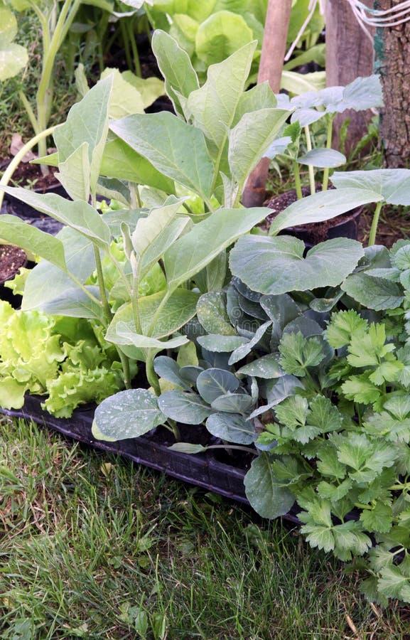 Plantas vegetais novas no jardim imagens de stock