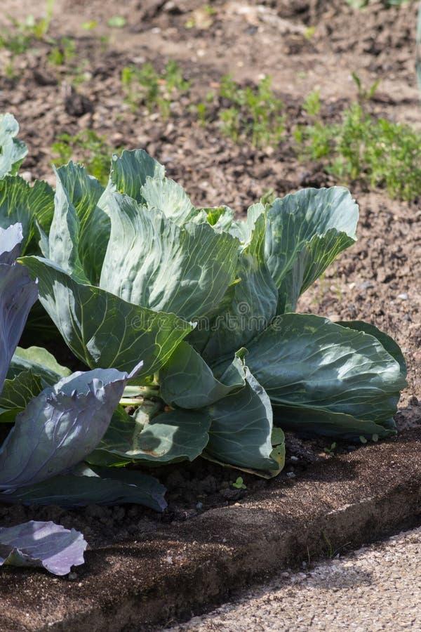 plantas vegetales en un jardín de la cabaña imagen de archivo