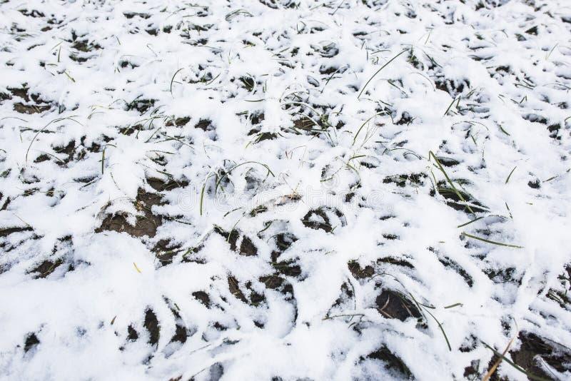 Plantas verdes cubiertas con nieve foto de archivo