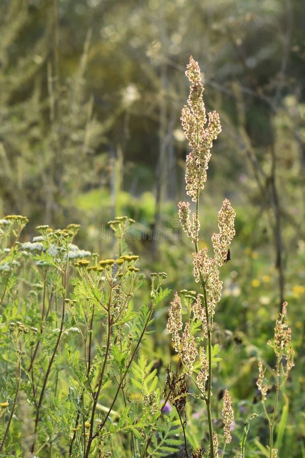 Plantas verdes da largura do prado Os raios do sol iluminam o prado imagens de stock royalty free