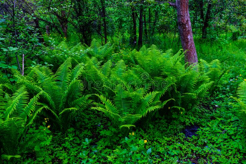 Plantas verdes da samambaia na floresta na mola foto de stock royalty free