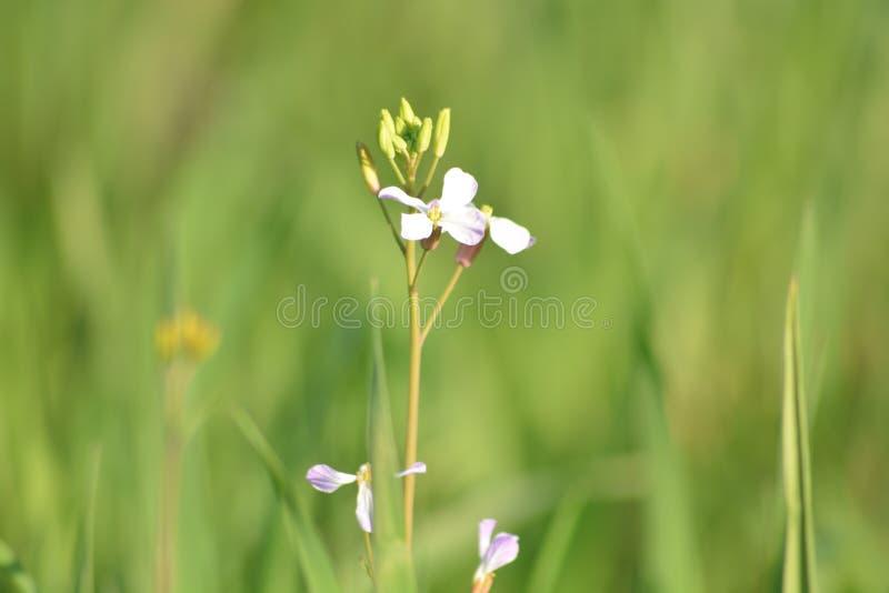 Plantas verdes de la mostaza con sus flores imagen de archivo