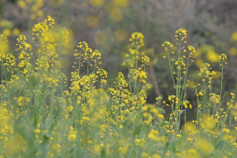 Plantas verdes de la mostaza con sus flores imagenes de archivo