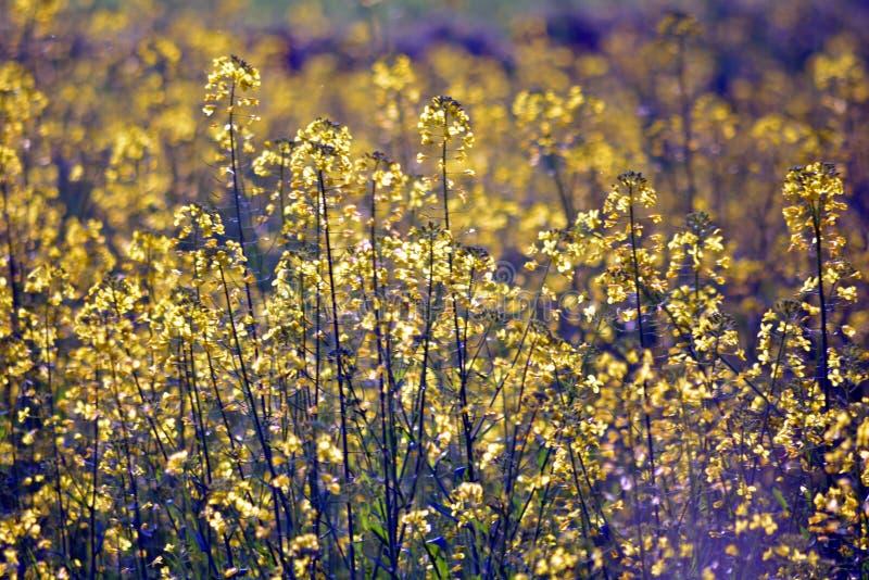 Plantas verdes de la mostaza con sus flores foto de archivo