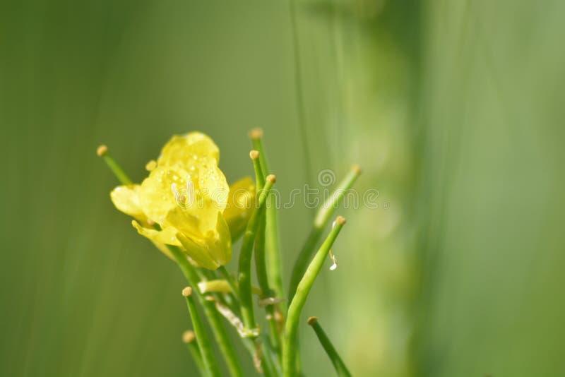 Plantas verdes de la mostaza con sus flores amarillas imagenes de archivo