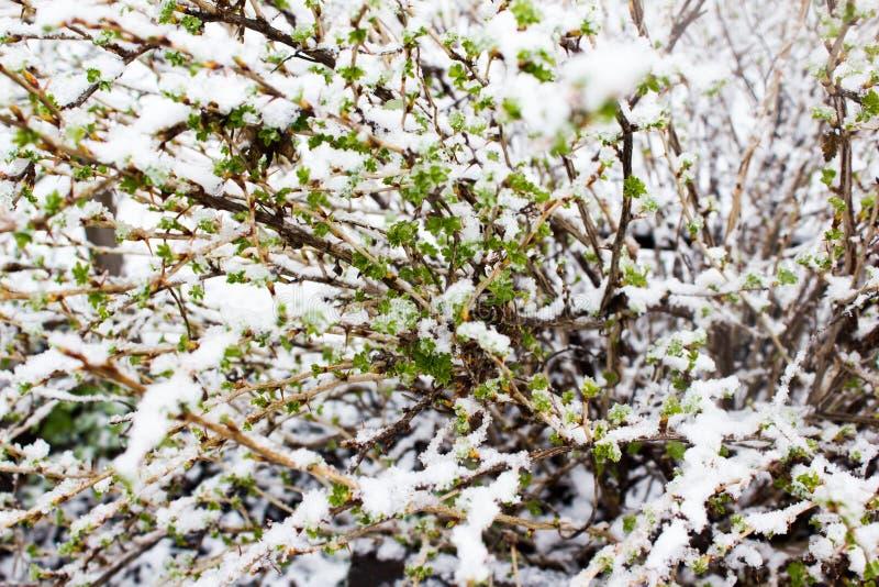 Plantas verdes debajo de la nieve imagen de archivo