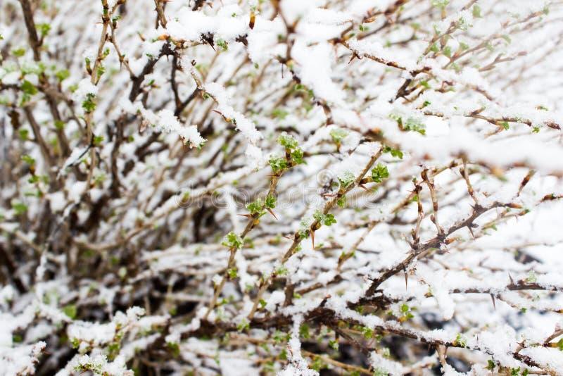 Plantas verdes debajo de la nieve foto de archivo libre de regalías