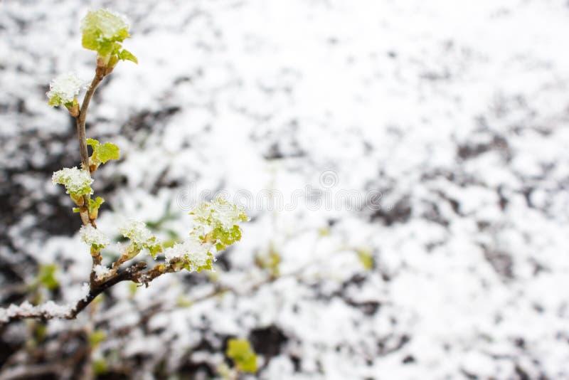 Plantas verdes debajo de la nieve foto de archivo