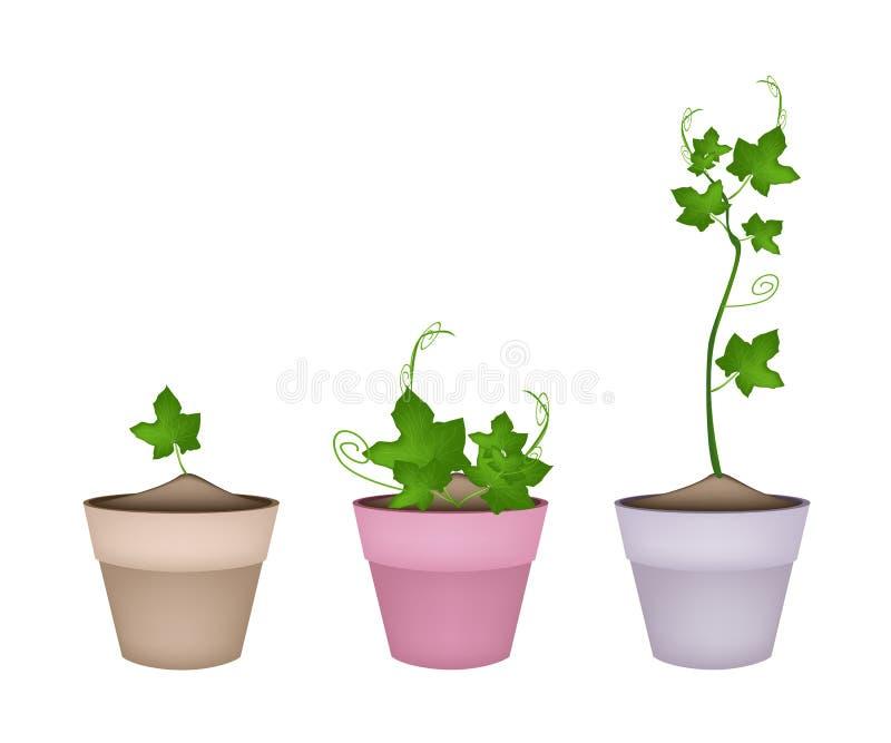plantas verdes del chayote en macetas de cermica