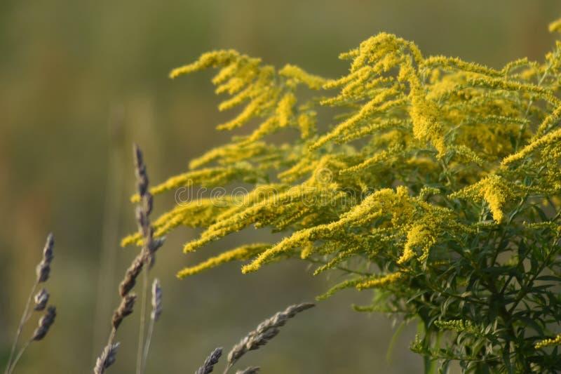 Plantas verdes do goldenrod da largura do prado Os raios do sol iluminam o prado foto de stock