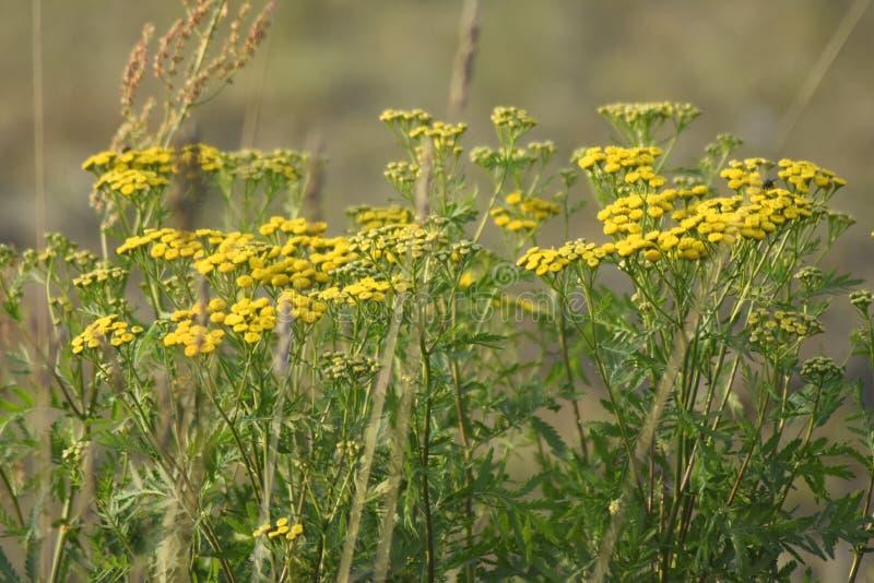 Plantas verdes do tansy da largura do prado Os raios do sol iluminam o prado fotografia de stock royalty free
